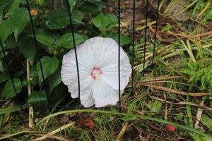 o30 hibiscus