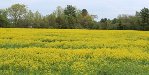 Field of mustard in Newbury, Massachusetts