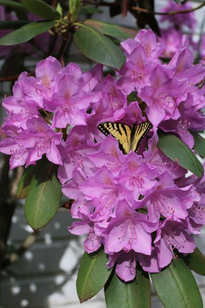 butterfly-in-a-rhodidendrum