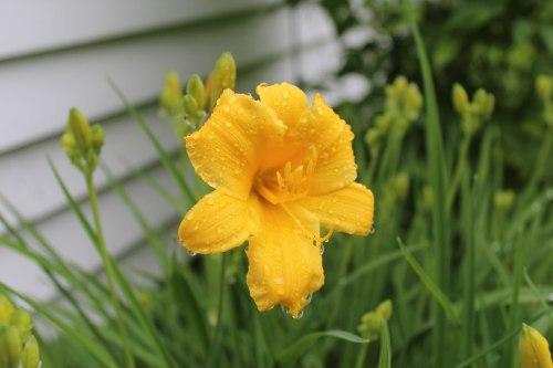 North-Bridgton-lily