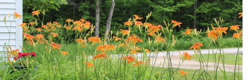 Some of the lilies in my midst in North Bridgton, Maine.