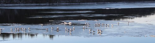 Merrimack-River-gulls-go-with-the-floe