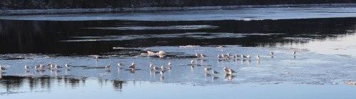 Merrimack-River-gulls-go-with-the-floe